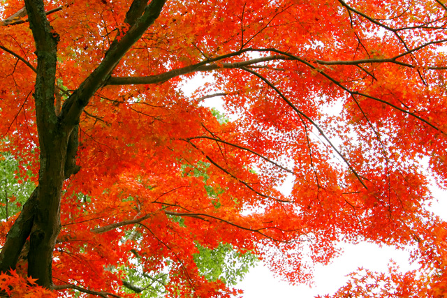 autumn-leaves_beiz.jp_S06383