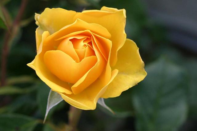 父の日 黄色いバラ|理由・花言葉・注意点TOP